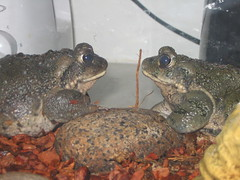 Toads by FolioRoad, on Flickr