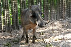 Jacksonville Zoo (Tiger_Jack) Tags: jacksonville animals zoosofthesouth jacksonvillezoo warthog warthogs zoo zoos zoosofnorthamerica itsazoooutthere