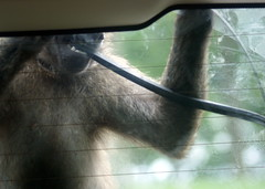 Baboon at Knowsley Safari Park (chrisbell50000) Tags: park monkey volvo rear safari vandal thief ape stolen baboon theft primate wiper knowsley merseyside vandalised chrisbellphotocom