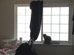 curtain (aein) Tags: cats cat pudding kittens scottishfold caught parfait scottishfoldkitten scottishfoldcat puddingthecat parfaitthecat