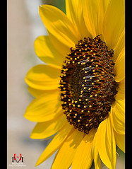 Sunflower! (Hassan Mohiudin) Tags: sunflower