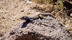 Lagarto tizón (Gallotia galloti)