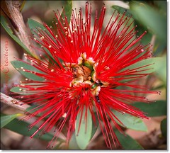 bottle brush bloom (~~NatSnap~~) Tags: bottlebrush redbloom aussienativeflower aussienativefloweringtree