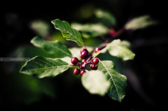 Alder Buckthorn Red Berries (samuel.rolo) Tags: light red tree portugal beautiful beauty field leaves self lens point photography 50mm prime photo nikon focus foto photographer berries view photos bokeh fotografia nikkor 18 50 samuel depth alder 2012 buckthorn 50mm18 viseu taught nikon5018 nikon50mm nikon18 d5100 nikond5100