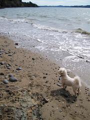 Poppy at Waiti Bay (russelljsmith) Tags: winter newzealand dog sun beach sunshine coast sand poppy sundaydrive firthofthames 77285mm waitibay