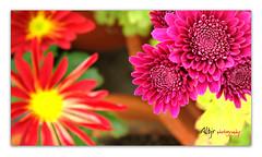 Colores ~ Colours (Alberto Jiménez Rey) Tags: flowers red naturaleza flores nature yellow rojo colours purple grandmother sony colores amarillo abuela alberto rey medina margarita beatriz ramirez cornejo purpura jimenez t200 sidonia albjr albjr7