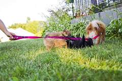 The little bears attacking their mother. (A&A Photography Services) Tags: bear summer dog cute puppy outside prime nikon funny little bokeh 28mm f2 leash pomeranian