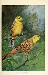 Anglų lietuvių žodynas. Žodis yellow bunting reiškia geltona starta lietuviškai.