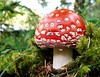 so beautiful, so dangerous... (Felix_65) Tags: mushroom sony cybershot funghi amanitamuscaria valcamonica dsch3