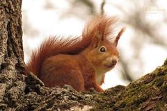 Red Squirrel 2 (Undertable) Tags: bridge tree nature closeup canon tiere squirrel natur baum tier eichhörnchen redsquirrel undertable assamstadt roteseichhörnchen oliverbauer sx50hs infinitexposure