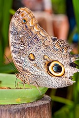 Owl Butterfly In Amazon Rainforest (kalypsoworldphotography) Tags: park wild food brown macro eye southamerica animal closeup butterfly insect lunch ecuador amazon rainforest pattern darkness background leg wing large reserve spot banana exotic national jungle camouflage eyeball sit owl tropical andes huge rest antenna larva cordillera andean cuyabeno amazonian invertebrate caligo amazonia yasuni eyespot