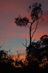 Red Dawn (Occasionally Focused) Tags: red sky tree sunrise dawn pentax manualfocus smcpentaxm1250mm pentaxm manuallens manualexposure unmetered rawtherapee justpentax