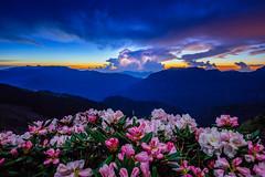 Dawn @ Mt. Hehuan /  (Cheng-Yang, Chen) Tags: lighting mountain storm sunrise dawn taiwan rhododendron  bluehour magichour   nantou  alpinerose  hehuanshan