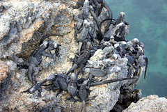 A bunch of iguanas at the Galapagos islands (Elena14u2012) Tags: sea islands galapagos iguana