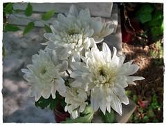 To my mother- Anyámnak (Katalin Réz) Tags: autofocus fleursetpaysages lovelymotherearth