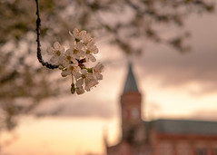 Springtime in Stretford (Sandy Sharples) Tags: flowers sunset england nature manchester hall spring dof blossom bokeh steeple cherryblossom goldenhour