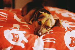 (aclaudine) Tags: dog pet film colors animal 35mm canon bed kodak naturallight 200 farbwelt