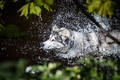 Huskie Water Splash (Philip Gillespie) Tags: blue dog pet white black hot green dogs nature water field leaves animal speed canon river grey scotland droplets drops high cool eyes husky edinburgh dof spray heat shutter splash depth cooling huskie