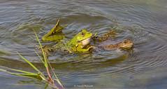 2016-05-06 - 16.09.40 - _L5B3375 - 1 (Rossell' Art) Tags: pad frog toad sapo rana frosch grenouille kikker rano bufo r krte crapaud  rospo doodebemde batracien