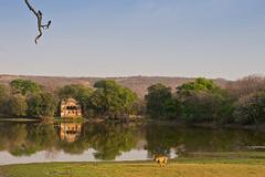 ADS_0000103970 (dickysingh) Tags: wildlife tiger tigers ranthambore indianwildlife ranthambhorenationalpark