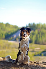 DSC_1681T (juliannahiaasen) Tags: portrait dog pet dogs animal training photography bordercollie australianshepherd dogphotography dogtraining dogportrait dogphotographer
