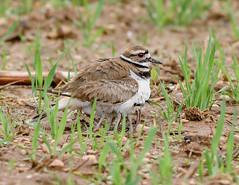 Look at all the legs (snooker2009) Tags: baby bird nature babies pennsylvania killdeer wildlife chicks
