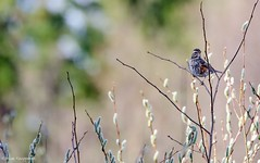 Redwing (Turdus iliacus) (- Man from the North -) Tags: bird nature finland spring nikon dof bokeh wildlife branches naturallight sunny tamron westcoast naturephotography redwing turdusiliacus ostrobothnia nikond7000 finnishwildlife tamron15006000mmf5063