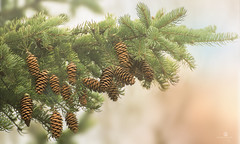overstocked (rockinmonique) Tags: light brown tree green pine forest canon golden branch dof bokeh tamron cones pinecones moniquew