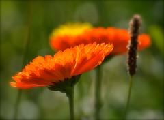 Orange Blast (Edinburgh Photography) Tags: flowers orange nikon edinburgh seat arthurs d7000 naturelandscapeoutdoors