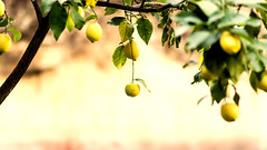 Limones de otoo (fraguas.martin) Tags: autumn naturaleza verde green nature yellow lemon amarillo otoo limon