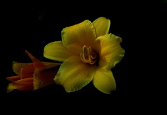 Lily (Diane Marshman) Tags: flowers summer plant flower nature yellow closeup garden landscape petals spring day lily pennsylvania blossoms pa bud blooms northeast perennial blooming