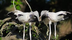 2016-06-21  Young Wood Storks begging and being fed [Explored] (Tara Tanaka Digiscoped Photography) Tags: gh4 nikon 300 f28 woodstork manualfocus staugustinealligatorfarm bird nestling feeding fish