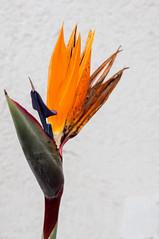Strelitzia flower. (lozadam63) Tags: orange flores flower naranja estrelicia nikond7100 estreira