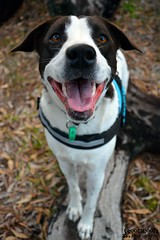 DSC_0025-1 (ScootaCoota Photography) Tags: rescue dog pet nature animal outdoors mutt mix bush collie labrador walk border trail