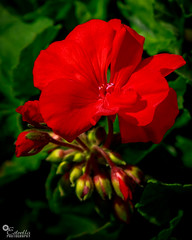 Roses are Red, So are other Flowers (Rare Estrella) Tags: canon ef 24105mm f4l is usm