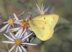 Clouded Sulphur (Colias philodice) (Ron Wolf) Tags: nature butterfly insect colorado wildlife lepidoptera rockymountains blm pieridae garfieldcounty cloudedsulphur coliasphilodice commonsulphur