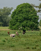 peace and heat (RCB4J) Tags: art landscape photography scotland countryside cow milk cattle feeding sucking calf udder ayrshire teat suckling galston hazyday irvinevalley eastayrshire suckler sigma150500mmf563dgoshsm ronniebarron rcb4j sonyilca77m2 natuerethroughthelens