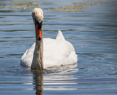 Do I have Something in my Teeth? (Jay:Dee) Tags: topw toronto photo walks topwdbrf16 dragon boat race festival swan bird avian
