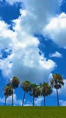 Cole Park in Corpus Christi, TX (johnnyp_80435) Tags: clouds texas cole corpuschristi bluesky palm cumulus colepark