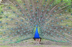 I see you (dfromonteil) Tags: paon plumes bird oiseau colors couleurs animal nature blue bleu peacock wow