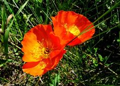 Orange bliss (peggyhr) Tags: orange canada sunshine yellow alberta poppies grasses thegalaxy peggyhr heartawards bluebirdestates thelooklevel1red rainbowofnaturelevel1red l~1passionforflowers dsc07237ab