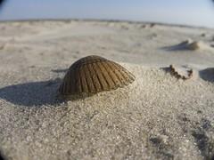 Die Muschel (Lautes Rot) Tags: leica macro beach strand shell makro muschel borkum 2016 dlux5