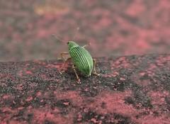 Suicidal Weevil (Bricheno) Tags: macro bug insect scotland glasgow escocia szkocja schottland weevil scozia cosse dalmarnock  esccia   bricheno scoia