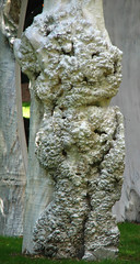 lumpy tree trunk (lisafree54) Tags: wood plant tree texture nature free bumpy treetrunk trunk lumpy bumps tumors cco nodules lumps tumorous freephotos