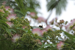 DSC_1702 (shizen.shigen) Tags: flower bee tamron flowerbud ft1 albiziajulibrissin