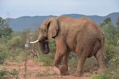 More critters and a bull elephant (dw*c) Tags: trip travel elephant animal animals nikon safari elephants sothafrica picmonkey