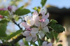 Fleurs (mathildepoupin) Tags: sun fleurs soleil lumire champs arbre muguet printemps feuilles verdure vie hortensia saison chaleur luminosit beauxjours