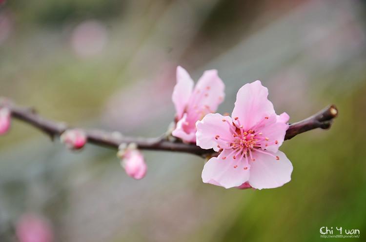 拉拉山水蜜桃花06.jpg