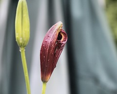 Birth of a Lily (howardj47) Tags: canon 7d howardj