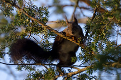 Squirrel in a tree looking in photographer's direction